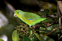 B44 Forpus xanthopterygius - BLUE-WINGED PARROTLET