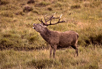 M21 Cervus e. scoticus - SCOTTISH RED DEER