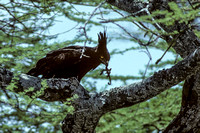 B20 Lophaetus occiipitalis - LONG-CRESTED EAGLE