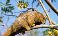M03c Cyclopes didactylus 2 - SILKY ANTEATER