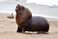 M13 Otaria flavescens - SOUTH AMERICAN SEA LION 2