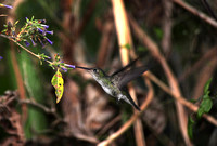 B53 Amazilia chionogaster 3 - WHITE-BELLIED HUMMINGBIRD