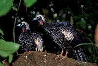 B22 Pipile jacutinga - BLACK-FRONTED PIPING-GUAN 2