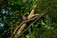 B45 Piaya cayana - SQUIRREL CUCKOO