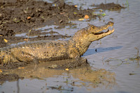 R1 Caiman crocodylus - SOUTH AMERICAN CAIMAN 2