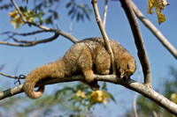 M03c Cyclopes didactylus 1 SILKY ANTEATER