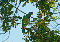 B44 Pionus maximiliani - SCALY-HEADED PARROT 2