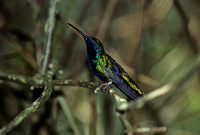 B53 AnthracotHorax nigricollis - BLACK-THROATED MANGO