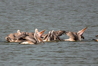 B09 Pelecanus phillippensis - SPOT-BILLED PELICAN