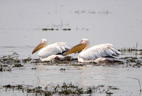 B09 Pelecanus occientalis - GREAT WHITE PELICAN