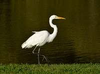 SAB13 Ardea alba - GREAT EGRET 1